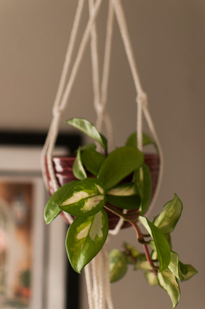 hanging macrame plant holder and trailing plant